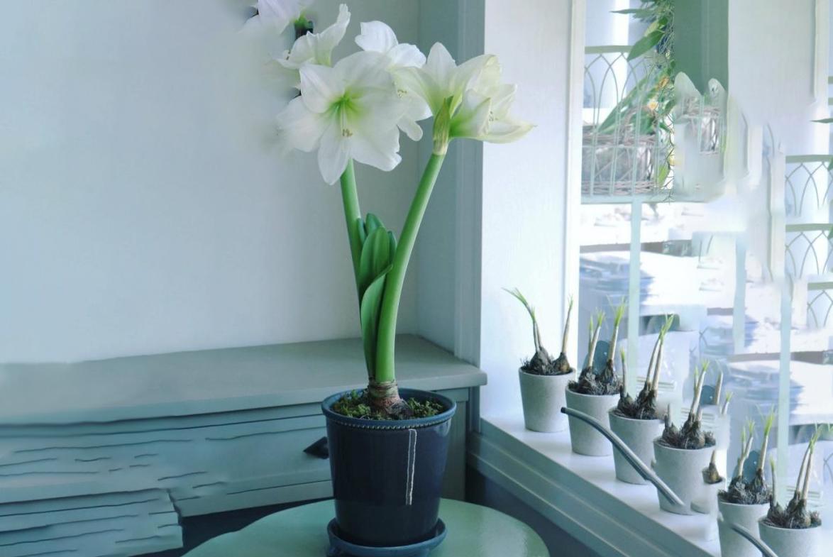 Амариллис фото, уход в домашних условиях, размножение, цветение. Амариллис: особенности и виды, посадка и уход thumbnail