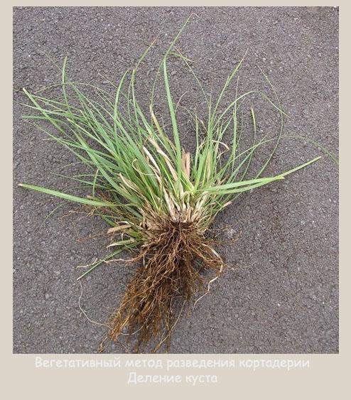 Вегетативный метод разведения пампасной травы