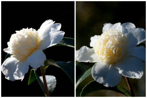 Цветок камелия: фото и основы правильного ухода в домашних условиях thumbnail