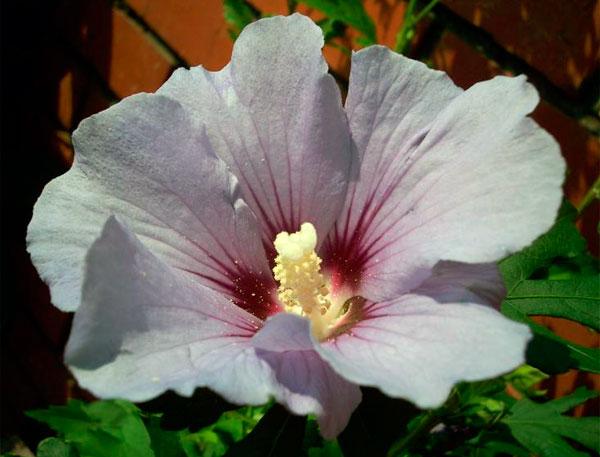 На фото показано цветение гибискуса сирийского