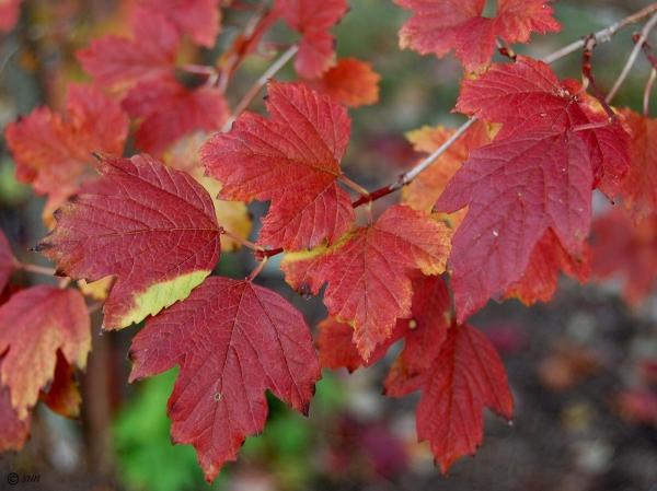 Калина Roseum осенью