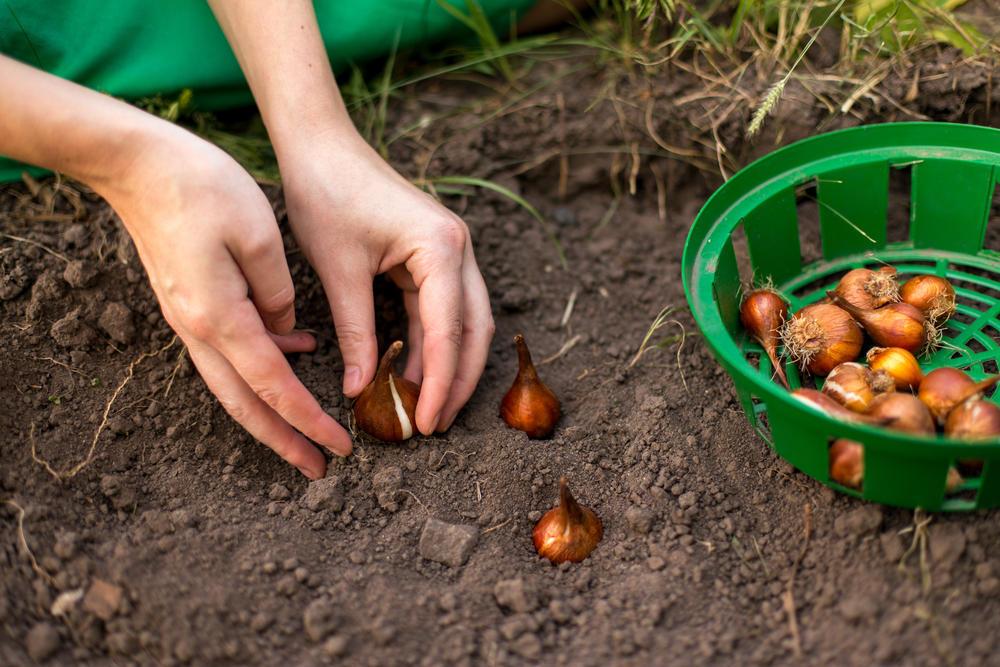 Посадка луковичных многолетников на грядке