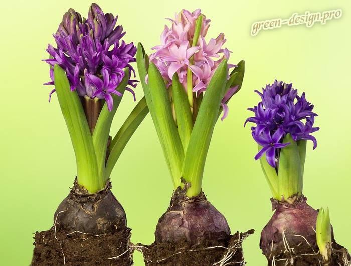 Многолетние луковичные цветы: гиацинты