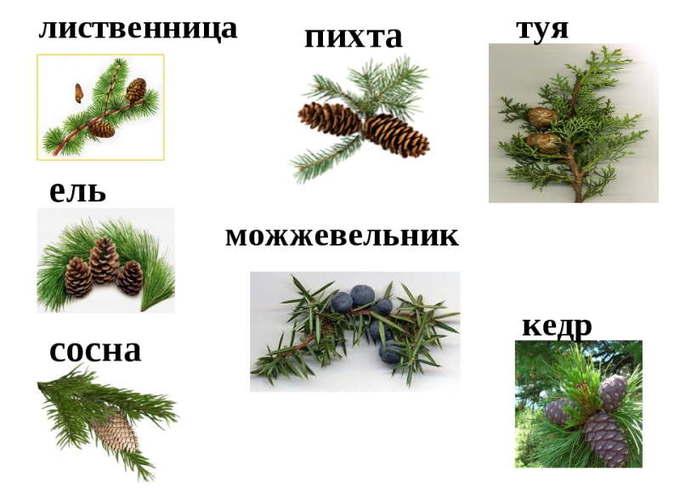 Отличие пихты от других хвойных деревьев
