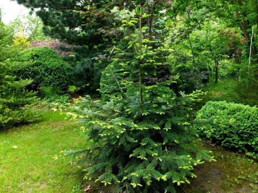 Пихта будет хорошо расти в плодородной и богатой почве