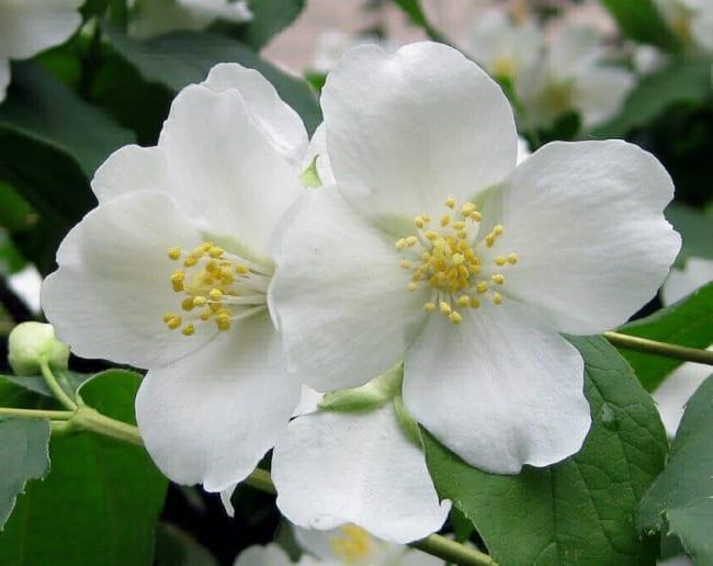 Крупноцветковый домашний жасмин